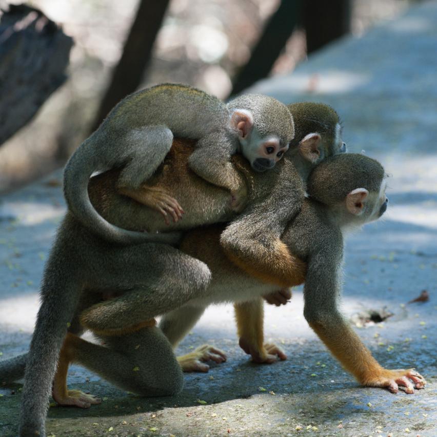 _macaco_de_cheiro-14