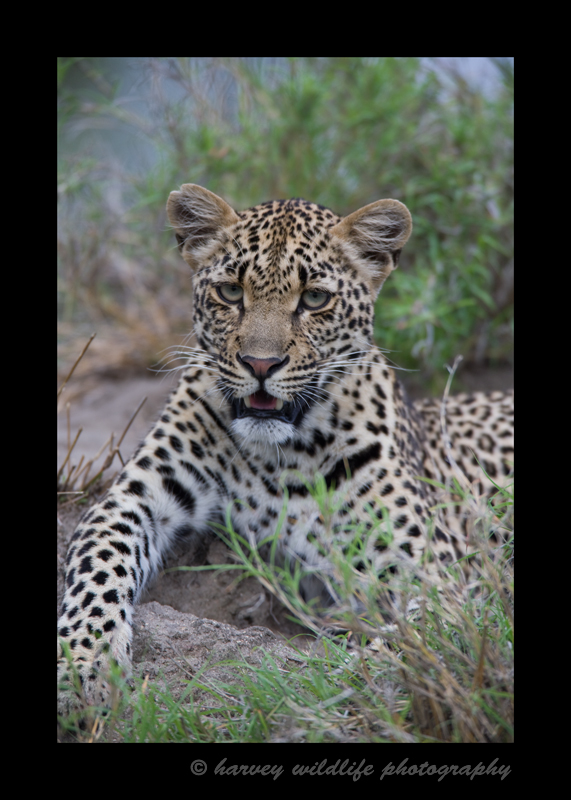 Picture of a juvenile male leopard in South Africa