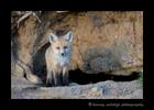 2013_fox_kit