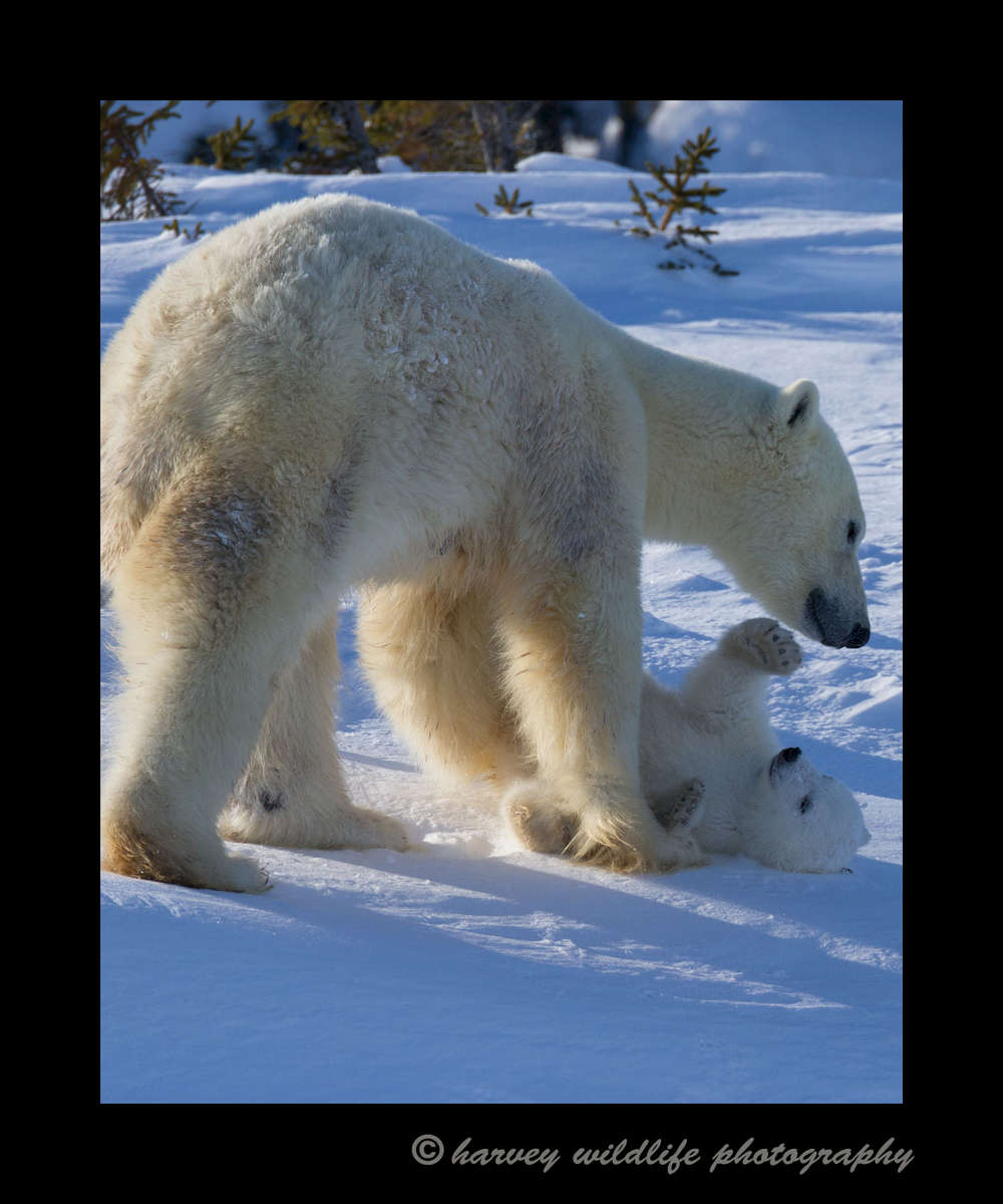 2013_mom_playing_with_cub