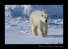 2013_momma_polar_bear