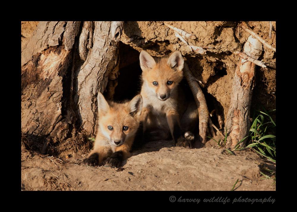 2_fox_kits_2013