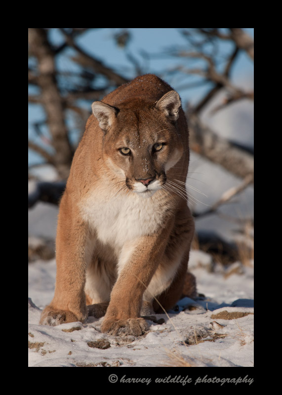 Meet Charlie. He is a captive cougar living in Montana.