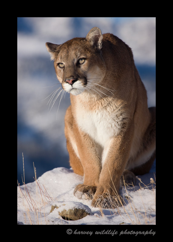 This cougar is a wildlife model.