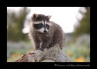 This racoon is a wildlife model in Montana.