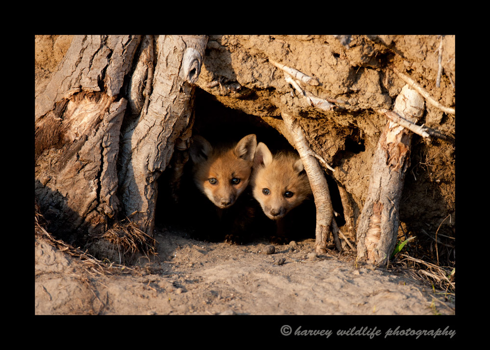 I had been to this den three times already. Finally on the fourth evening two little faces cautiously emerged out of the darkness allowing me to view them for the first time.