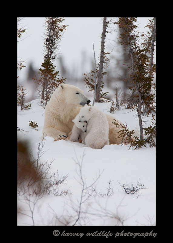 Polar bear twins playing