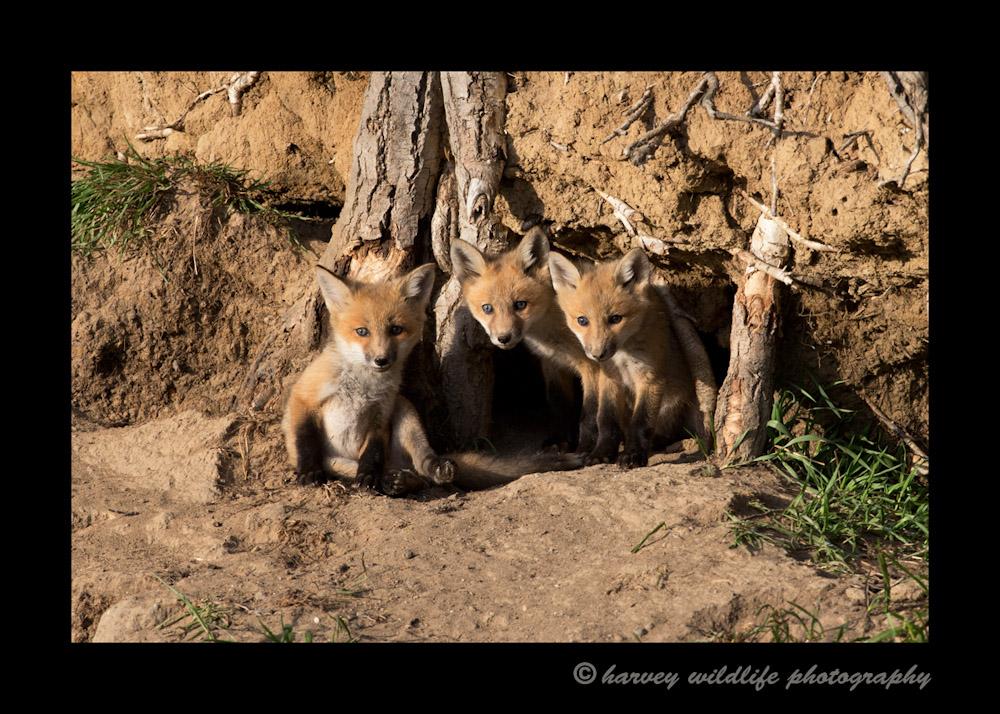3_fox_kits_2013