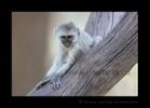 Vervet Monkey Baby