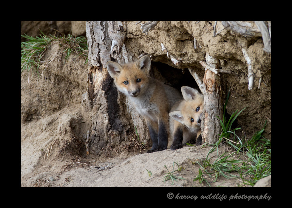 I believe these red fox kits are about 9 weeks old. The last (and first) time I saw them it looked like they still had a tinge of blue in their eyes if the sun shon on them the right way. Their eyes turn brown at 8 weeks, so my guess is they were right around that age.