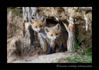 It has been a week since I have seen these fox kits. They look like they have grown a lot since I last saw them.