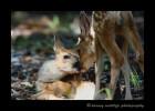 Twin deer fawns kissing.