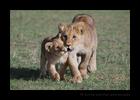 Affectionate-Lion-Cubsc
