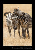 Affectionate Zebras