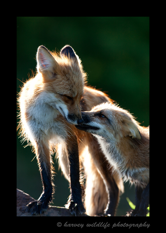 WIldlife model red foxes in 2009.