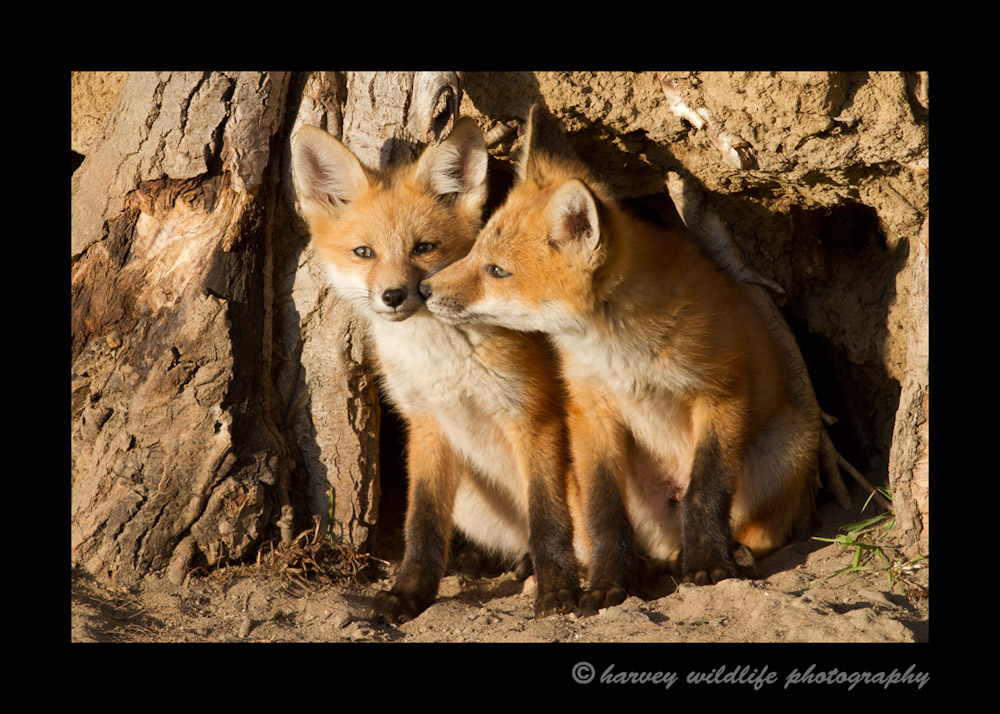 In the late evening last light, these two foxes came out of their den and displayed a little affection.