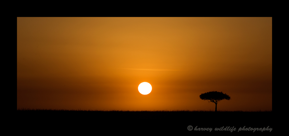 Picture of an African sunrise with an acacia tree in the Masai Mara, Kenya. Photo by Harvey Wildlife Photography.