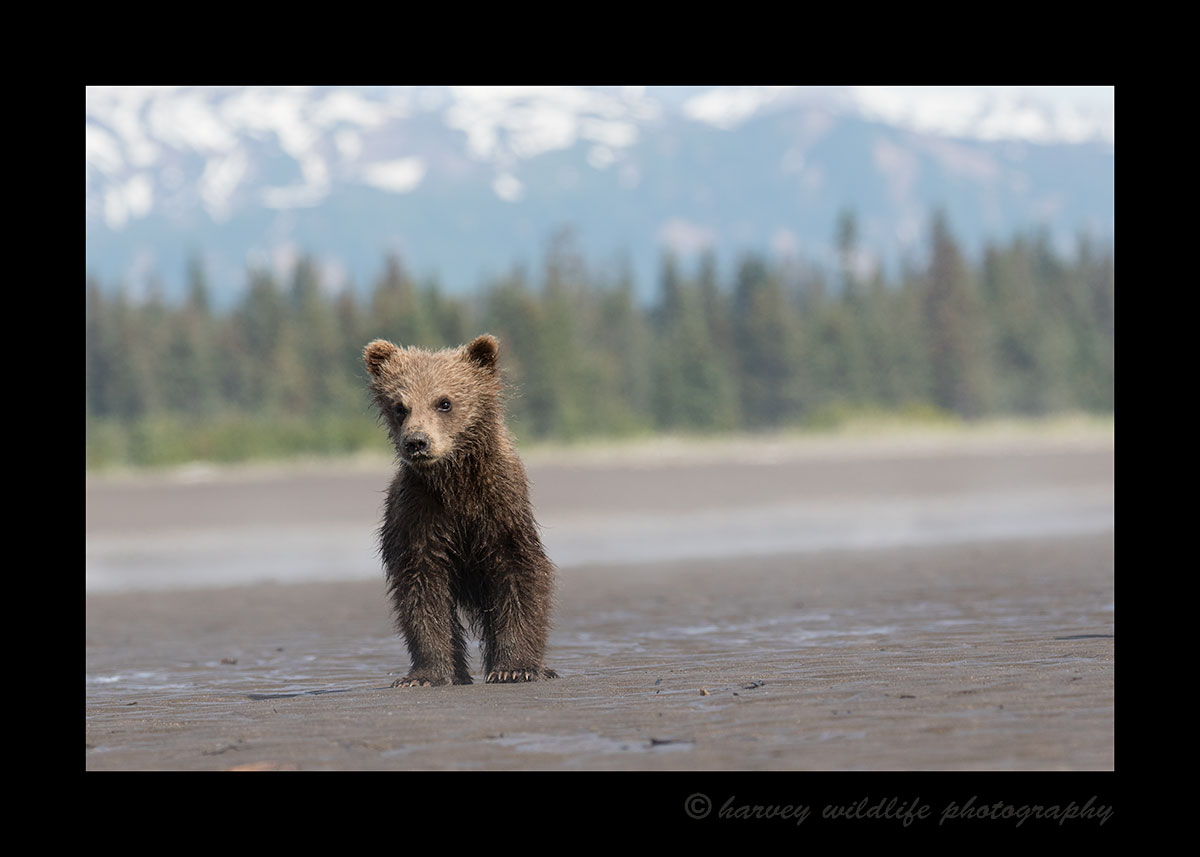 brown bear cub on Beach