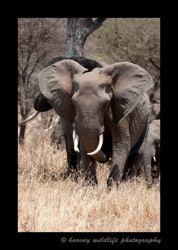 This elephant does a little grand standing in and attempt to show of his dominance.