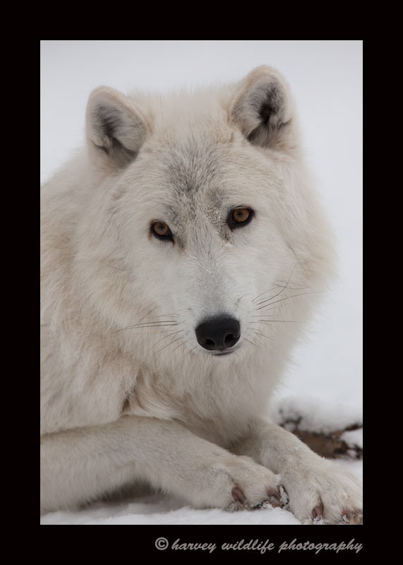 Arctic Wolf II