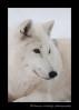 Arctic Wolf 5