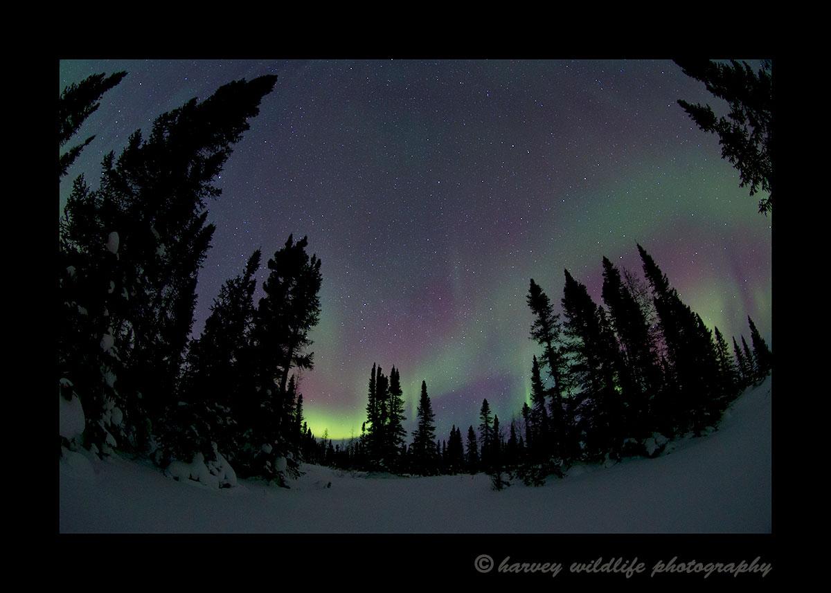 Aurora Borealis in Wapusk National Park. Photograph by Harvey Wildlife Photography.