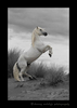 Picture of a camargue stallion rearing up on the beach in Southern France. Photo in black and white with blonde highlights.