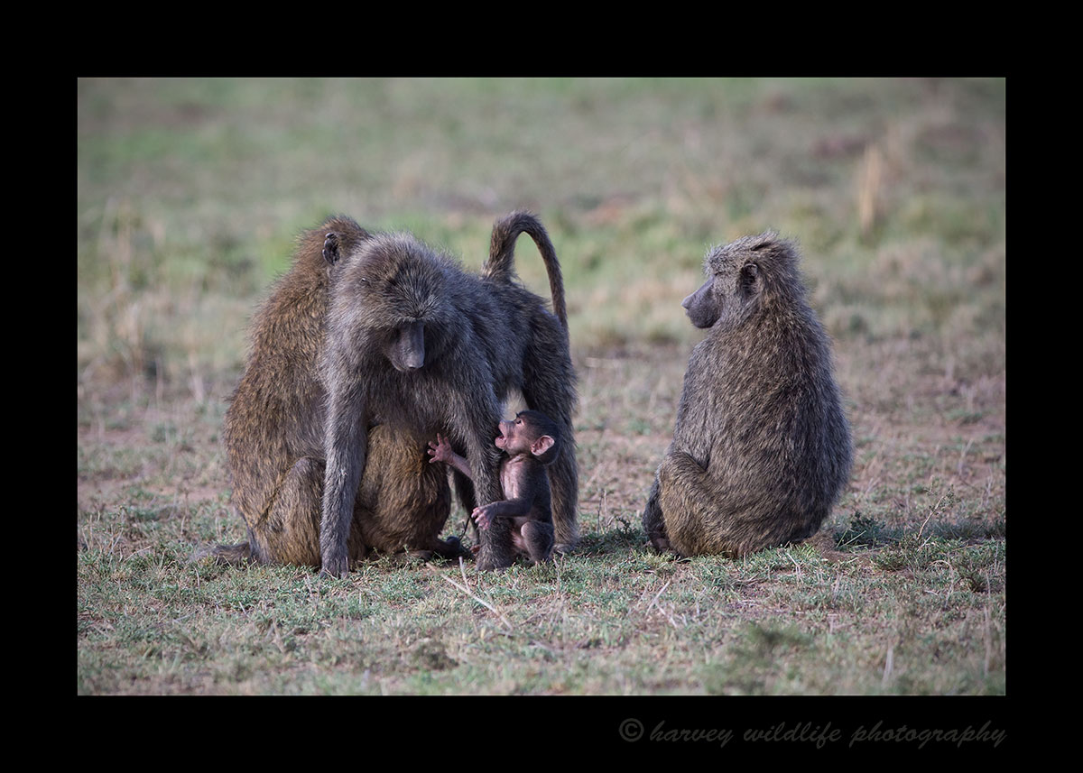 Baby Baboon wants up