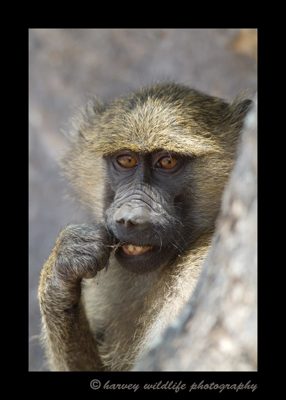 Baboon's Toothpick