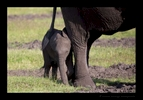 Baby Elephant Behind Mom