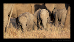 Elephant Baby Panoramic, HW Safaris