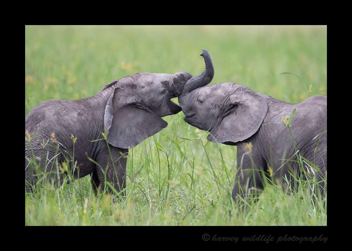 Baby Elephants Masai Mara