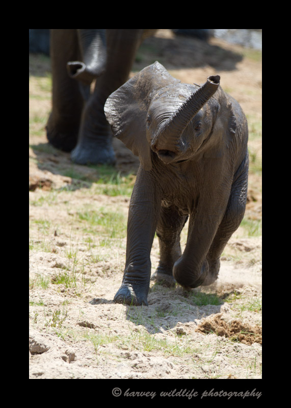 This baby ellie runs to catch up with his mother.
