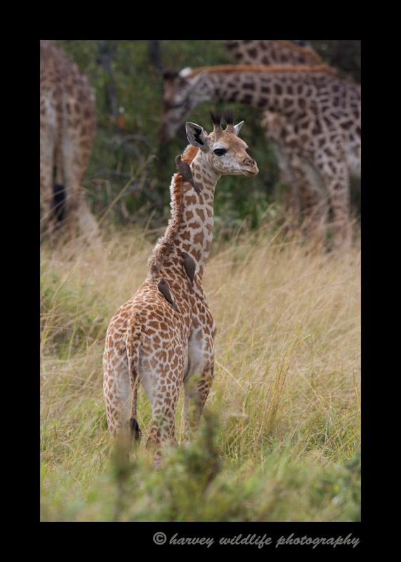 This young masai giraffe was wondering toward the herd as the oxpeckers were enjoying a grooming session.