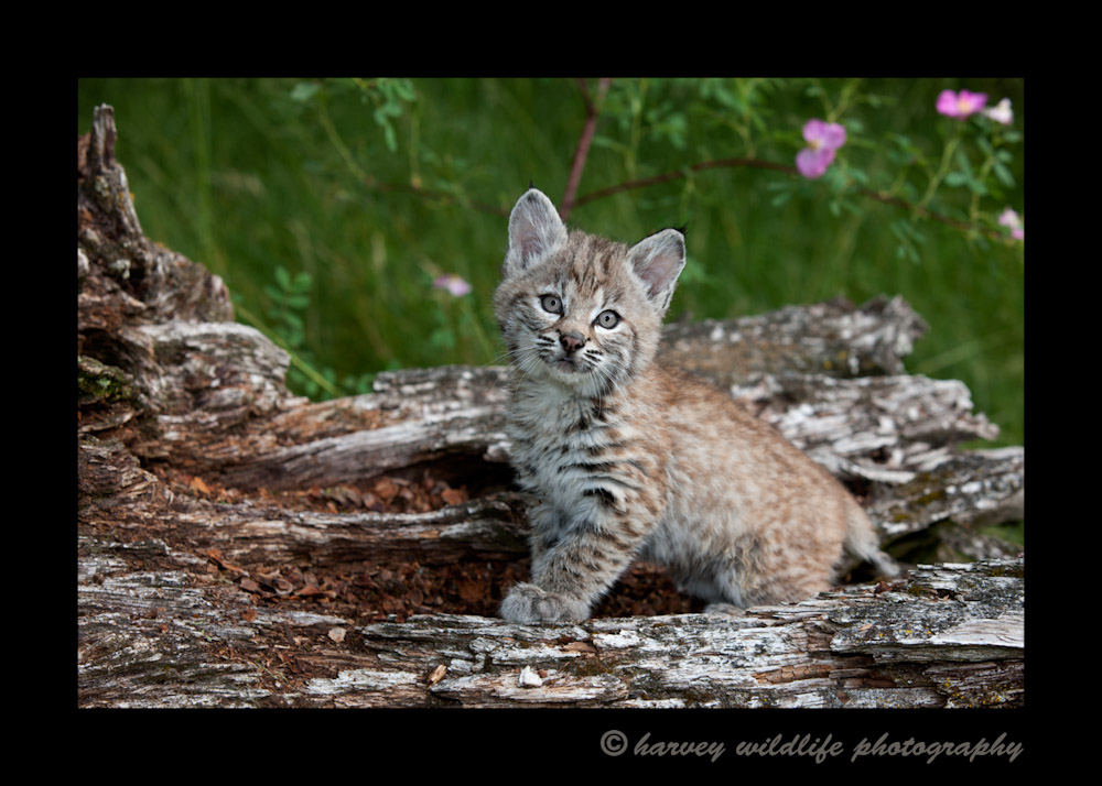 Baby bobcat wildlife model living in Montana.