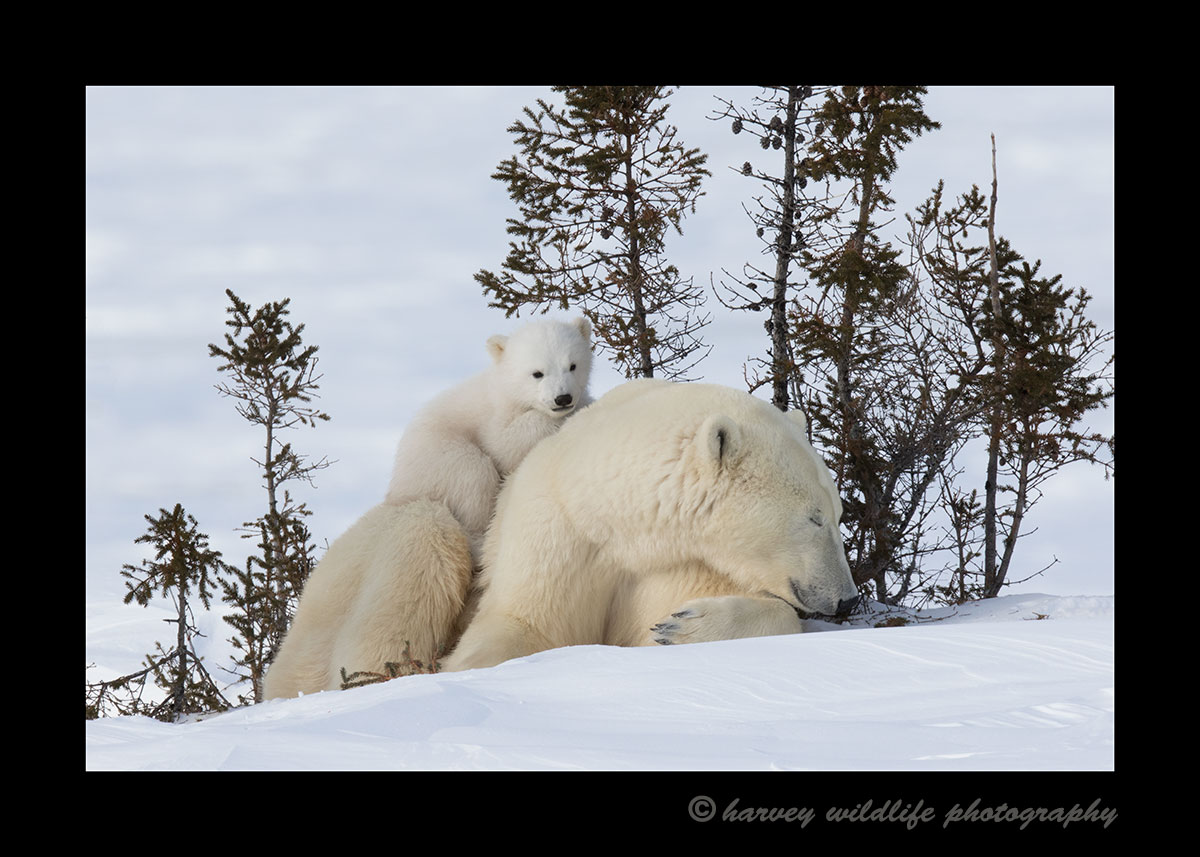 Baby polar bear resting on mom in Wapusk National Park.