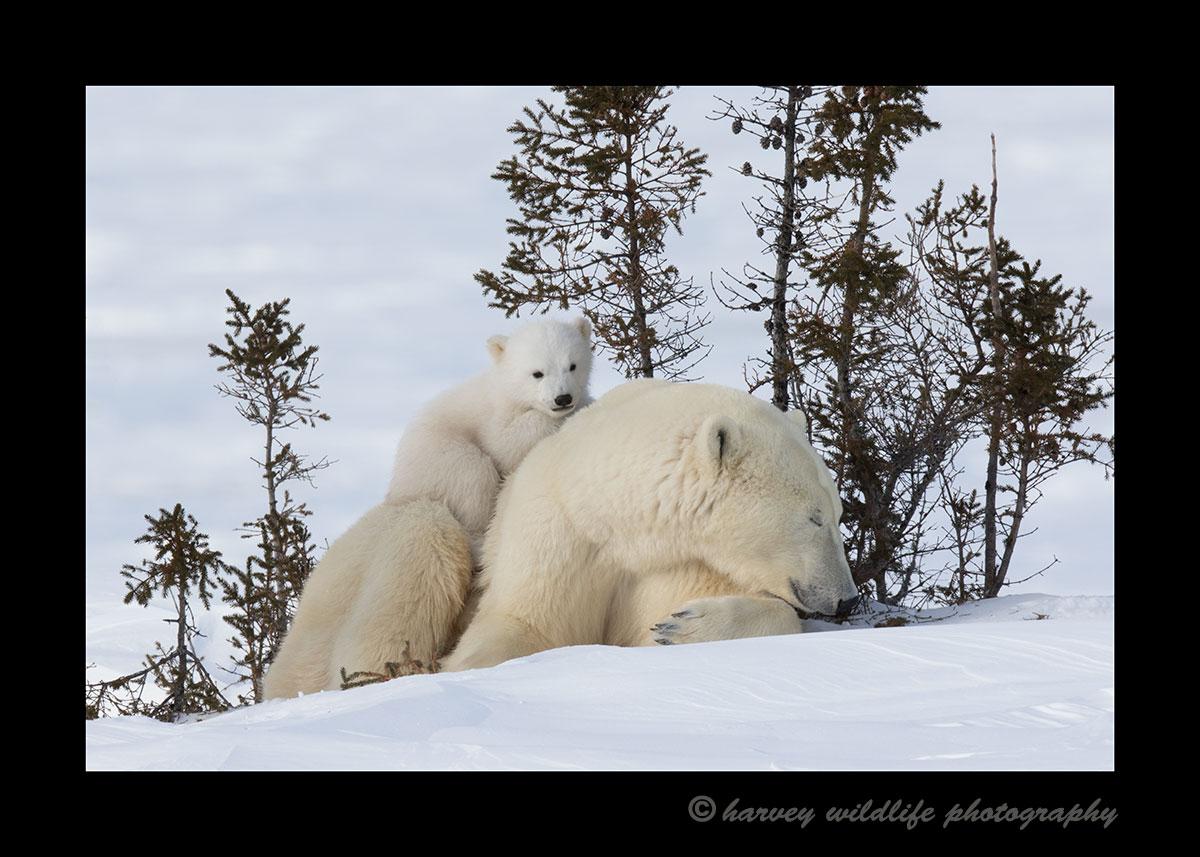 Baby polar bear resting on mom in Wapusk National Park.