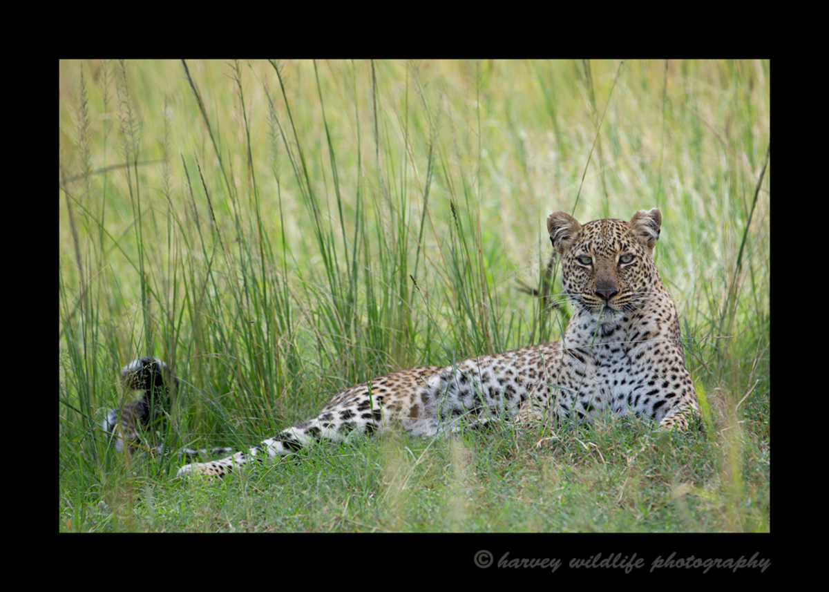 Picture of a leopard named Bahati lying in the grass in the Masai Mara in Kenya. Photo taken by Greg of Harvey Wildlife Photography.
