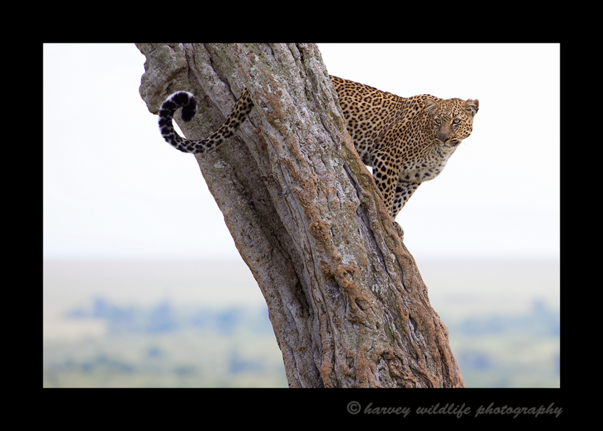 Picture of a leopard named Bahati posing in an acacia tree. Image taken in the Masai Mara National Park in Kenya. Photo by Greg of Harvey Wildlife Photography.
