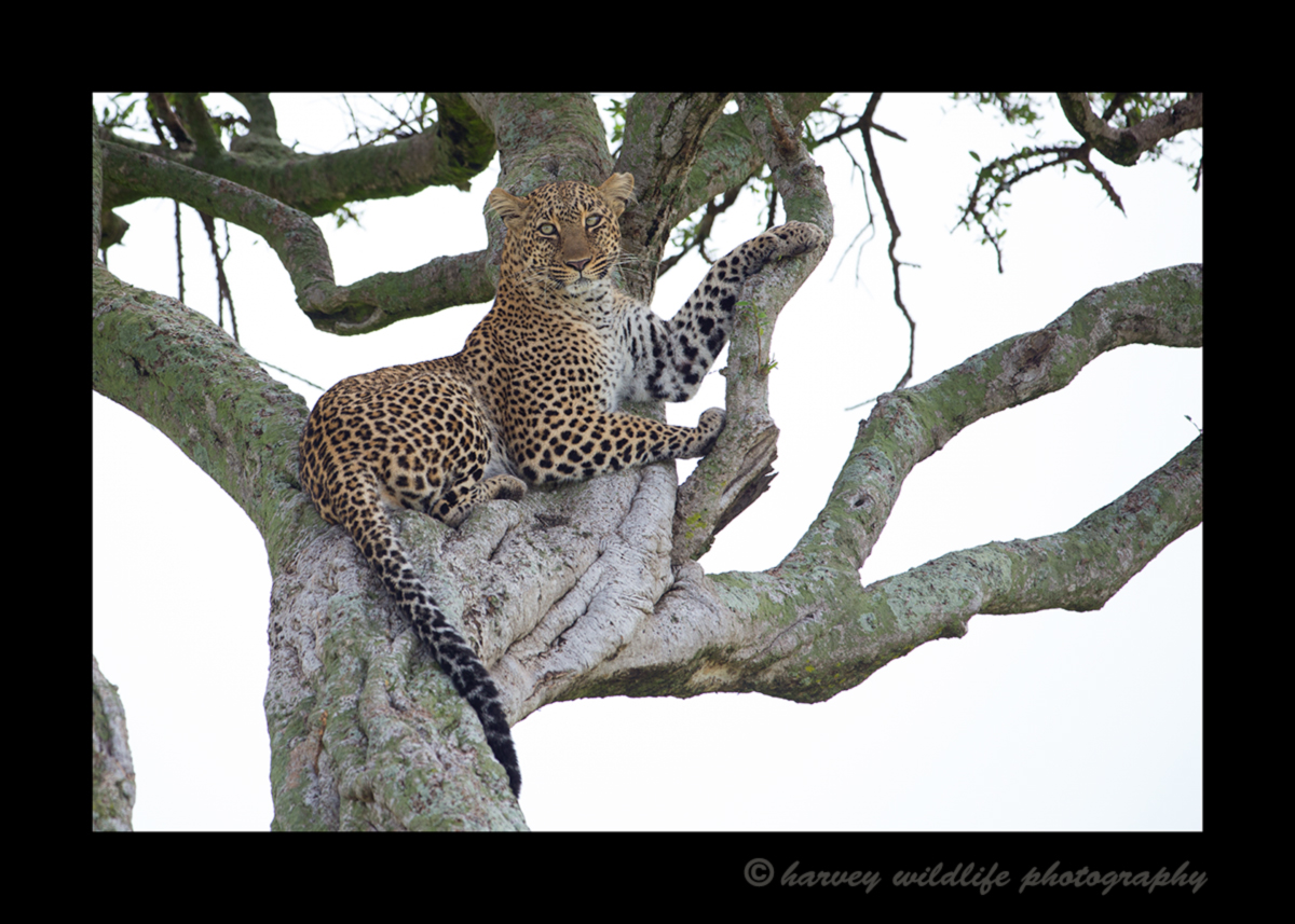 Picture of the leopard Bahati resting in an acacia tree in Masai Mara National Reserve, Kenya. Photo by Harvey Wildlife Photography