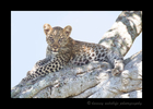 Picture of Bahati's cute leopard cub in the Talek area of Kenya's Masai Mara National Reserve.