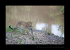 Bahati_s-Son-Leopard-Cub