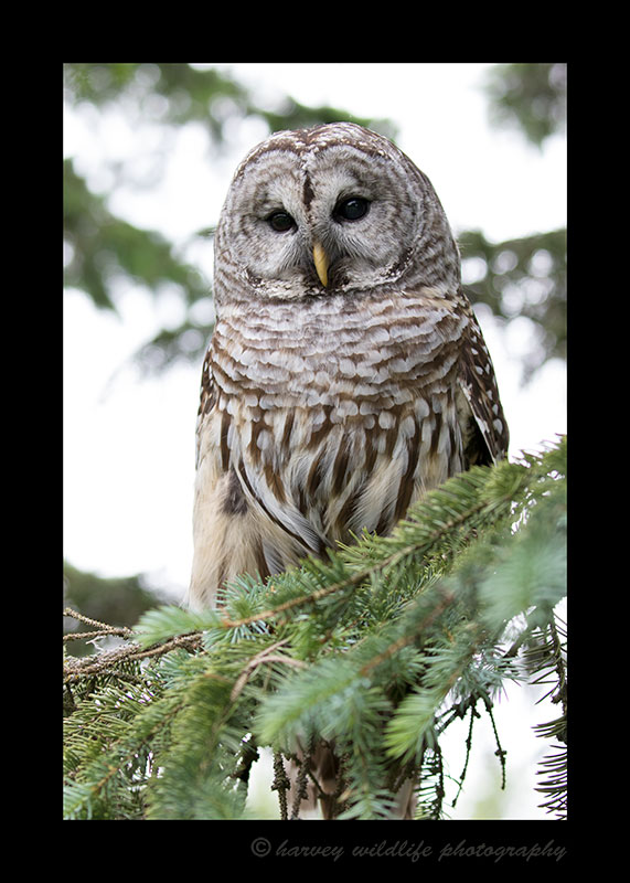 Captive barred owl. This owl's name is Colonel. She is blind in one eye so can't be released back into the wild.