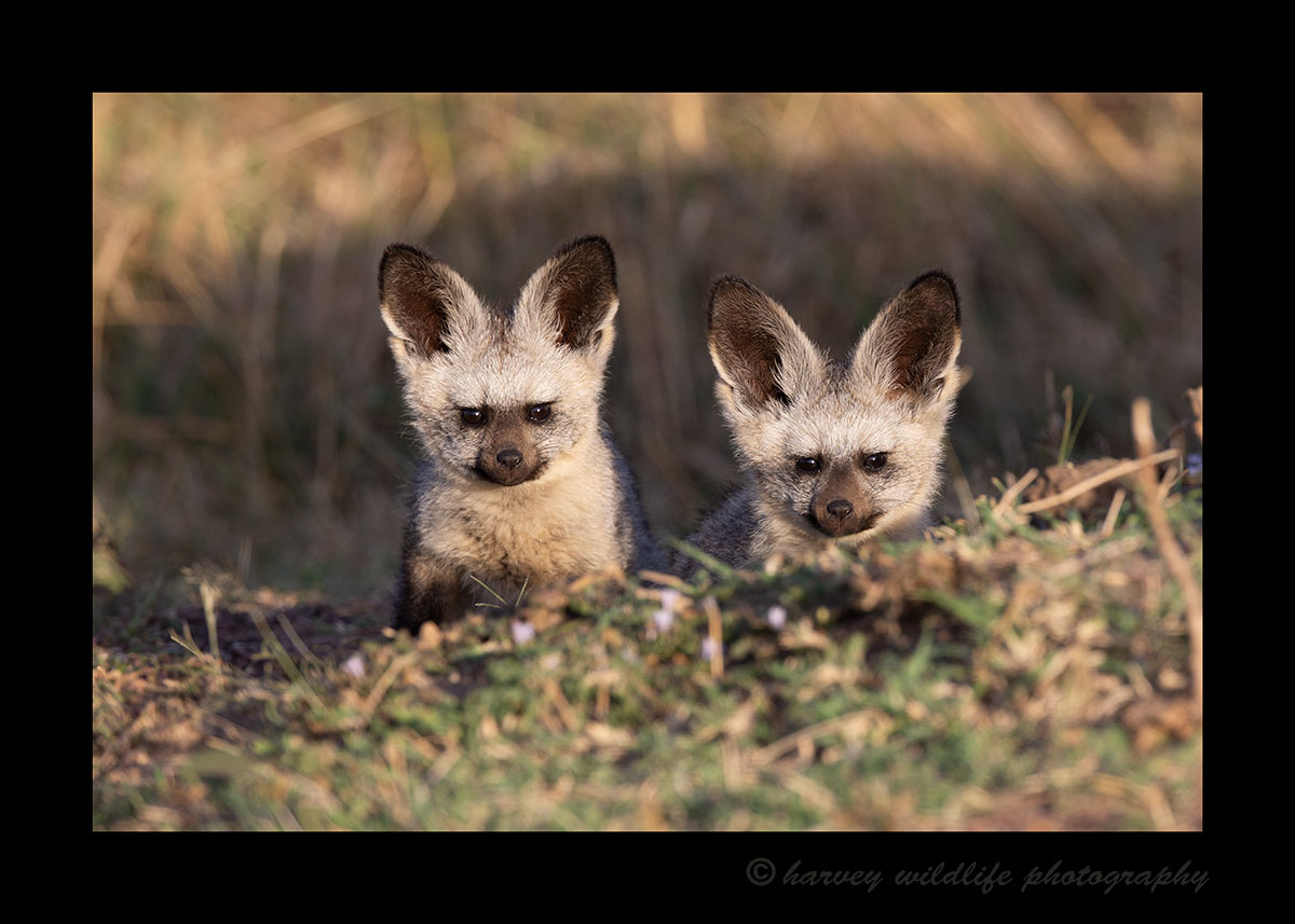 Bat Eared Fox Kits