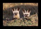 Bat Eared Fox Kits