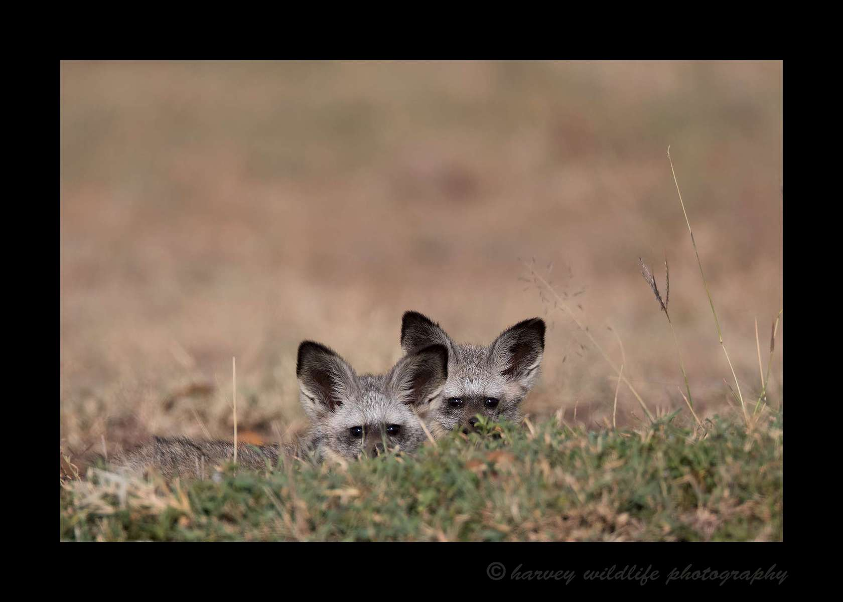 Bat Eared Foxes, Masai Mara