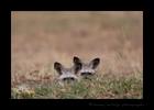Bat Eared Foxes, Masai Mara