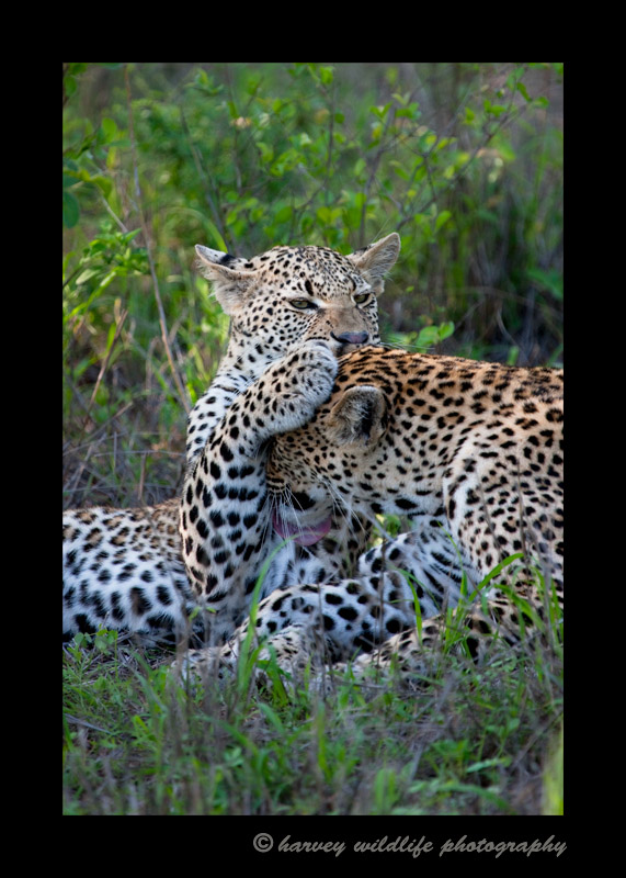 Picture of a female leopard grooming her son in South Africa.