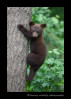 Bear-cub-in-tree-3