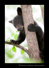 This curious bear cub had climbed a tree to avoid a male bear down on the ground. sitting high in a tree is boring, so I caught his attention as he was peering at me from behind the branches.